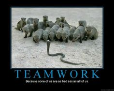 In India, a cobra squares off against a bunch of mongooses. Looks like snake is on the menu for tonight, because just one mongoose can easily take down a cobra. Funny Animal Memes, Funny Animal Pictures, Funny Images, Funny Animals, Cute Animals, Wild Animals, Funny Pics, Animal Funnies, Pet Pictures