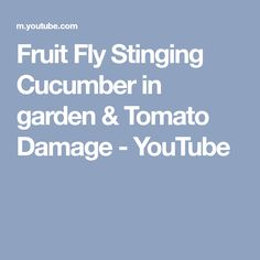 Fruit Fly Stinging Cucumber in garden & Tomato Damage Fruit Flies, Tomato Garden, Cucumber, Youtube, Youtubers, Zucchini, Youtube Movies