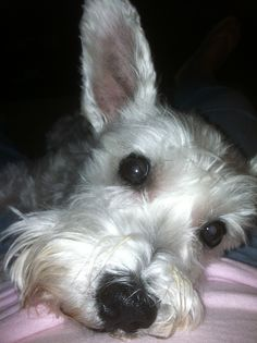 this is  Yoda, aka Dogbunny...he was bored with watching the Super Bowl so he decided he needed to lay on me...awww!