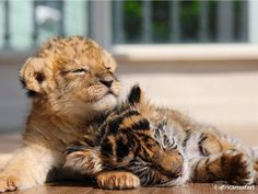 Lion cub and Tiger cub best of buddies Baby Animals Pictures, Cute Animal Photos, Animals And Pets, Wild Animals, Lion Pictures, Cute Little Animals, Cute Funny Animals, Cute Cats, Big Cats