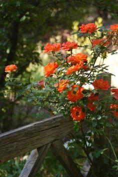 Orange Rocket Miniature Climbing Rose
