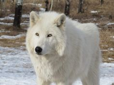 The Best Arctic Wolf Facts For Kids to learnn All About Arctic Wolves. Learn about its scientific name, classification, appearance, physical description, lifespan, eyes, species, diet, hunting, habitat, range, climate, adaptations, behavior, sense of smell, wolf pack, life cycle, reproduction, baby, endangerment, population, predator, role in ecosystem and many other interesting and fun facts about Arctic Wolves. Animal Facts For Kids, My Animal, Arktischer Wolf, Wolfhound Puppies, Canis Lupus, Dog Breeds List, Arctic Wolf, Fantasy Wolf, Wolf Photos