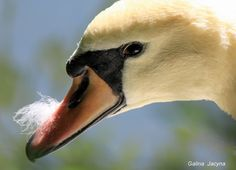 Лебедь. by Galina   Jacyna