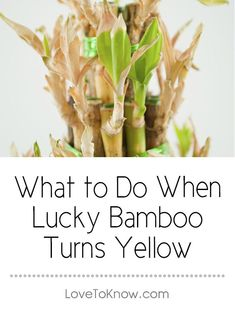 What to Do When Lucky Bamboo Turns Yellow Lucky bamboo plants can develop yellow leaves or yellow stalks for a number of reasons. The key to saving a plant when the yellow appears is to assess the . Chinese Bamboo Plant, Indoor Bamboo Plant, Bamboo Plant Care, Lucky Bamboo Plants, Bamboo Tree, Bamboo Garden, Indoor Plants, Bamboo Light, Caring For Bamboo Plant