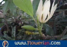 Gambar Batang Bunga Cempaka Cara Menanam Bunga Cempaka Merawat Tanaman Herba Bunga Herba Semulajadi Malaysia Bibit Bunga Kantil Bunga Menanam Bunga Tanaman