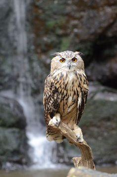 Eagle Owl By.charlie.syme. Flickr.