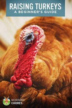 Do you want to raise your own holiday turkeys or sell them for profits? Here's all the guide you need to raising turkeys for beginners.
