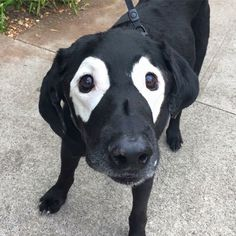 Rowdy, the Lab With Vitiligo, Finally Got the Photoshop Battle He Deserves - World's largest collection of cat memes and other animals Unusual Animals, Rare Animals, Cute Baby Animals, Animals Beautiful, Animals And Pets, Funny Animals, Cutest Animals, Wild Animals, Cute Puppies