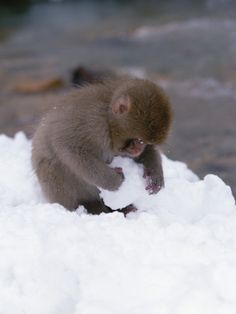 Many researchers in the Japanese forested mountains have also documented an unusual activity of the Japanese macaques. The animals know how to make tiny snowballs in their hands, using their opposable thumbs, and then roll them along the ground to create larger snowballs, much like human children do. While this behavior doesn't appear to have survival purpose, whole troops of Japanese macaques engage in the activity as a social process. Primate Cultural Behavior in Monkeys