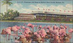 Florida Hialeah Flamingos And Nests At Hialeah Race Course 1950
