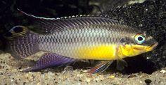 Pelvicachromis taeniatus male