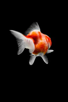 Goldfish Species, Fish Breeding, Cool Tech Gifts, Photography Series, Australian Artists, Art Festival, Graphic Design Typography, Fish Tank, Digital Illustration