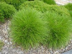 Lomandra confertifolia, 'Little Con' (Common name: Mat Rush). Native. Copes w clay soil & stays green.