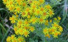 Ragwort. Courage.  Used in charms to ward off evil spirits.  Associated with faeries.  Also Called: Fairie's Horse, Faerie's Horse, Fairy Horse, Faery Horse     The plant is astringent, diaphoretic, diuretic, emmenagogue and expectorant.  Use with caution, when applied internally it can cause severe damage to the liver.  An emollient poultice is made from the leaves.  The juice of the plant is cooling and astringent, it is used as a wash in burns, sores, cancerous ulcers and eye…