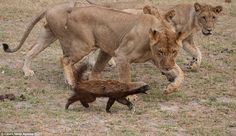 A honey badger was able to fight off a pride of lions and escape despite being trapped in one of the big cat's jaws during the struggle at the Selinda Reserve in Northern Botswana. Funny Animals, Cute Animals, Moon Bear, Lion Pride, Honey Badger, Cat Boarding, Cat Life, Big Cats, Spirit Animal