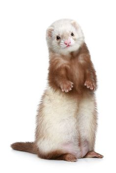 Brown Ferret standing on a white background. Funny ferret standing on a white ba… Brown Ferret standing on a white background. Funny ferret standing on a white ba , Ferrets Care, Baby Ferrets, Funny Ferrets, Pet Ferret, Chinchilla, Ferret Colors, Ferret Accessories, Ferret Clothes, Otters