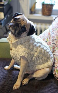 a distinguished gentle pug's sweater ~ pugaddict.com ~ Follow us on Facebook at http://www.facebook.com/pages/Pug-Addict/621471274575369