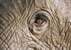 Elefant's eye..sees all and remembers all