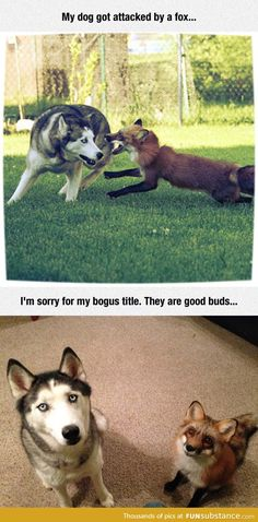 Fox attacks dog