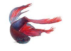 Siamese Fighting Fish #betta
