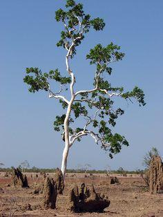 Ten Thousand Trees: White bark tree in termite land Australian Painting, Australian Plants, Australian Bush, White Bark Trees, Model Tree, Eucalyptus Tree, Outdoor Pictures, Nature Tree, Photo Tree