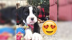 Puppy Surprises! :) 9 December, Boston Terrier, Puppies, Dogs, Animals, Animales, Boston Terriers, Animaux, Doggies