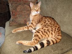 Savannah cat,a beauty