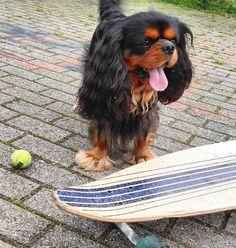 I Know mom...you've put the little ball to get me closer!!! I still have some fear #skateboard #skateboarder #yawningdog #toungueout #toungueouttuesday #yourpetid #dogadventures #dogventurist #pawsome #pawpack #hankandhound #outdoordog #mydogisthebest #favoritetoy #sendadogphoto #lacyandpaws #dogsofficialdog #cavalierlovers #cavalierofinstagram #cavalierlife #cavlove #cavlife #cavvie #cavaholic #cavitude #filhode4patas #blackandtancavalier #happydogfeature #ckcs #ckcspics by jthedarkcavalier