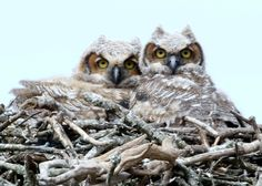 I was blessed to find these two juvenile Great Horned Owls...