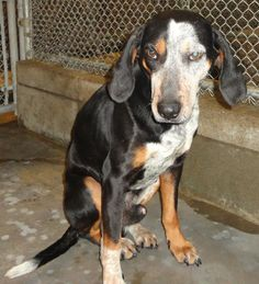 Potter    Species Dog  Breed Coonhound, Treeing Walker/Mix  Age 3 years 7 days  Sex Male  Size Medium  Intake Date 3/11/2013  Sampson County Animal Shelter  Clinton, NC    If you would like to adopt/rescue one of our animals please contact us at animalshelter@sampsonnc.com