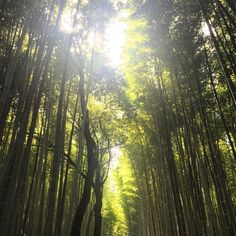 Walking into this bamboo grove is otherworldly for an Aussie not used to seeing so much of the stuff. It just seems to go on forever. One thing that you'll appreciate is the way the light moves through the trees as the wind blows it's like being submerged under the surface of a green ocean.. Photos just cant capture the magic of this place www.manplants.com.au