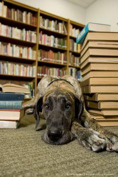 Beautiful Great Dane laying beside stacks of books