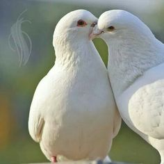Dove Bird Stock Photos and Pictures Getty Images White Pigeon, Dove Pigeon, Beautiful Birds, Animals Beautiful, Cute Animals, Dove Pictures, Animal Pictures, Dove Images, Pigeon Pictures