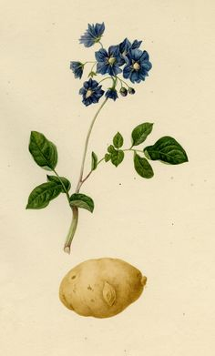 Harvard University Herbaria - Botany Libraries Archives Economic Botany Potato Prints Architecture Tattoo, Art And Architecture, Botanical Drawings, Botanical Prints, Potato Tattoo, Potato Drawing, Potato Picture, Plant Sketches, Plant Tattoo