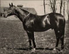 Luke McLuke, the sire of Tapit's tenth generation mare Jeanne Bowdrie. He was by the Domino line stallion Ultimus out of the Trenton mare Midge.