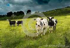 Black and white cows in the field. These are part of a larger herd. Although…