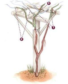 24 Best Grape Trellis Images Grape Trellis Garden Vines Grape