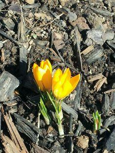 Crocus, first sign of Spring