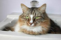 Toby is an adoptable Maine Coon Cat in Stevensville, MD. Toby and Boo were turned into a local shelter when their owners could no longer care for them.  They are very attached and it would be best if ...