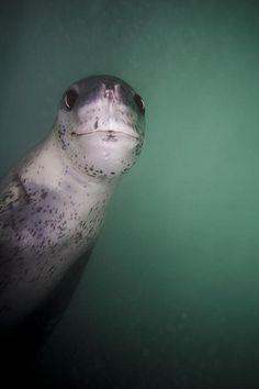Leopard Seal by scott1e2310