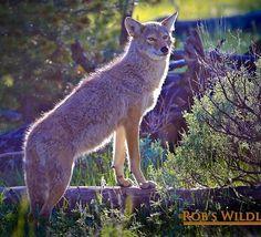 Beautiful Yellowstone coyote  #Nature #Wildlife #natgeoyourshot #animallovers #animalkingdom #wildlifephotography #natgeo #a#instaart #instapic #instatravel #instadaily #instacool #instabeauty #alaskalife #animalplanet #coyote #wyoming