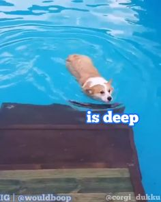 Is Deep. Is Deep. Corgi goes for a swim and does a Nope. Cute Animal Memes, Animal Jokes, Cute Animal Videos, Cute Funny Animals, Cute Baby Animals, Funny Cute, Top Funny, Hilarious, Funny Dog Memes