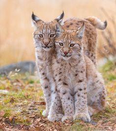 """beautiful-wildlife: """" Eurasian Lynx Siblings by Cecilie Sønsteby """""""
