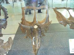 Crâne de Chasmosaurus à AMNH
