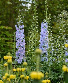 Delphinium 'Fanfare' has beautiful semi-double lilac blue and mauve flowers. Makes an excellent cut flower