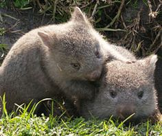 If you don't know what a wombat is, then get ready for cute! Wombats have short legs, ears, and tails, similar to pikas (which I talk. Cute Creatures, Beautiful Creatures, Animals Beautiful, Happy Animals, Animals And Pets, Cute Animals, Wild Animals, Cute Wombat, Funny Animal Images