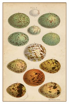 Vintage bird egg collection print.
