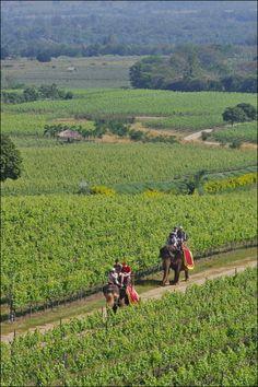 Elephants in the vineyard, Hua Hin Hills Winery, Thailand | EchoGeo