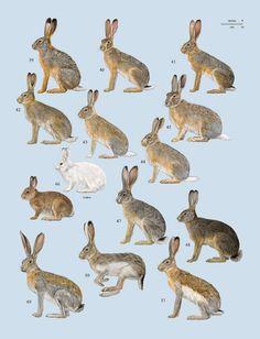 Handbook of the Mammals of the World – Volume 6 – Lynx Edicions Handbook of the Mammals of the World Kangaroo Rat, Scientific Drawing, Desert Animals, Jack Rabbit, Rodents, Mammals, Squirrel, Art Reference, Wildlife