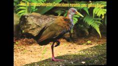 sons de passarinhos do Brasil pt 3